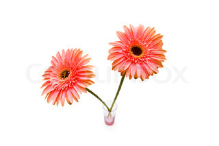 Gerber daisy isolated on the white background