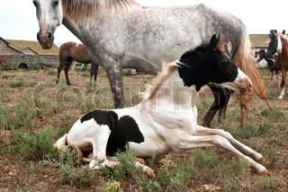 horses, mare and a foal resting on the pasture