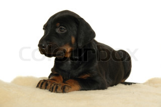 Puppy dog resting. Taken on white background.