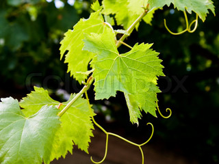 green leafs of vine in summer day