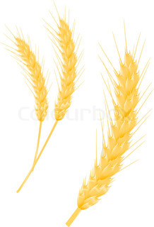 Ripe wheat ear as a agriculture concept