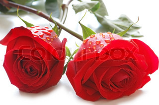 Two roses with water drops  isolated on white
