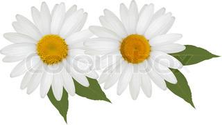 Smukke daisy blomst med blade.