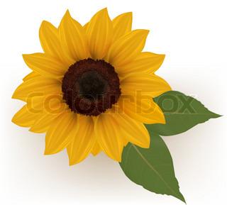 Smuk gul solsikke .