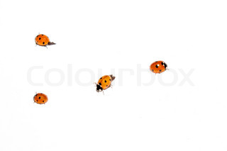 Bunch of ladybugs on a white background