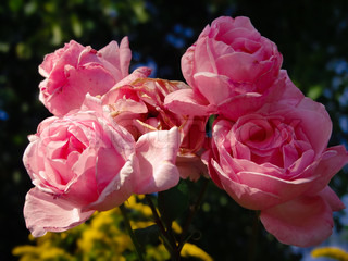 Some blooming and some withering pink roses