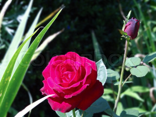 One blooming red rose and a red rose bud
