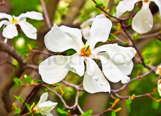 Magnolia flower on a branch in the spring, clear day