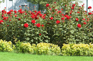 Rose garden on the bright summer day