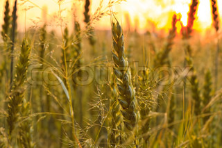 Wheat field with sunlight on sky. Shallow deep of field