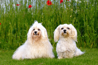 Two dogs is posing on green grass. The breed is Bichon Havanais