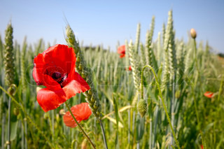 Red poppy and corn field