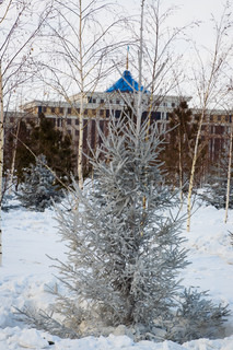 Fir tree in the city park. Astana, capital of Kazakhstan republic.