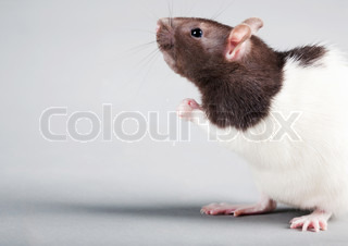 Brattleboro laboratory rat isolated on grey background