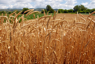yellow wheat plant on field over scenic landscape Serbia