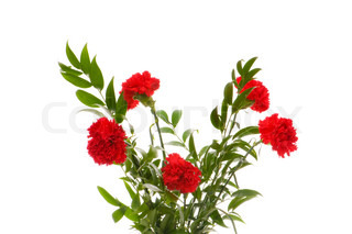 Red carnations isolated on the white background