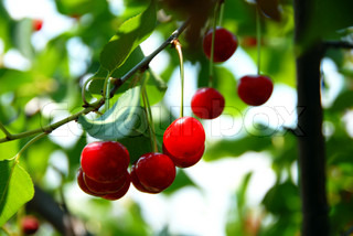 group of red cherries growing on tree closeup