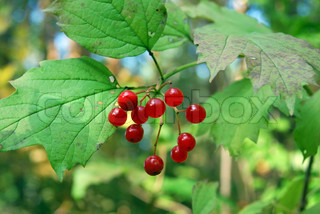 arrowwood (Viburnum)