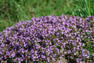 thyme , medicinal plant