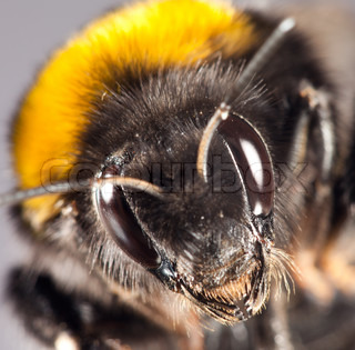Photo of a bumblebee close up