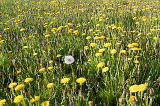 alone white dandelion among yellow flowers on field