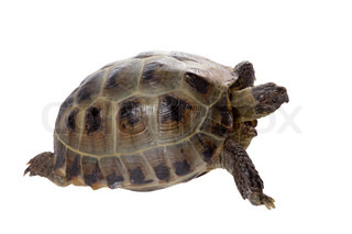 a studio photo of a tortoise crawling on white background