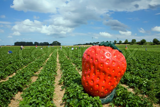 strawberry field  in Germany with blue sky and clouds