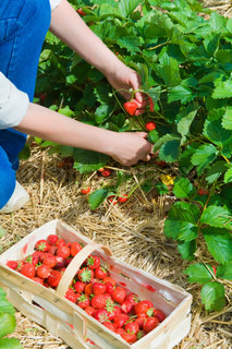 picking  of fresh organic  strawberry in the field