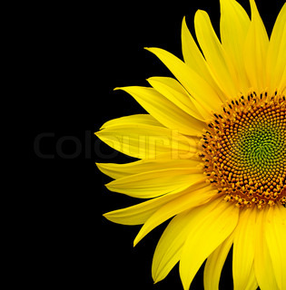 Sunflowers bloom on a black background closeup