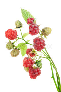 Ripe and unripe red and green  berries of a raspberry on branches isolated