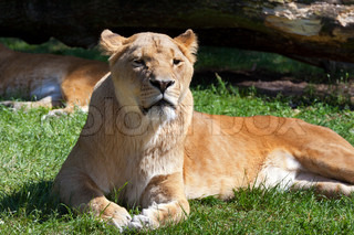 Lions resting in the afternoon at summer time