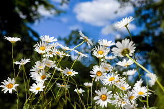 daisy flowers in summer under blue sky