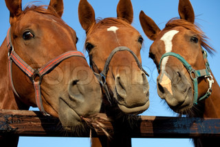 Closeup of three  heads of a horses