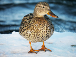 Duck on the river in winter