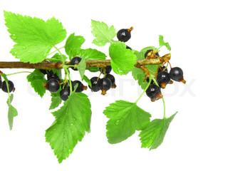 Black currant on branch with green leaf. Isolated
