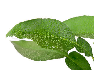 Green leaves with water droplets on white background