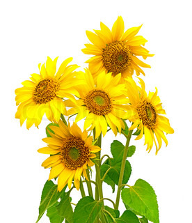 five sunflowers on a white background closeup