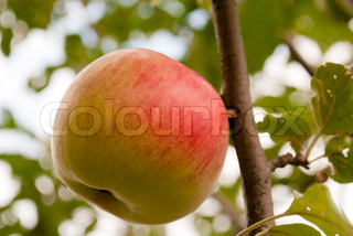 Small red-green apple grow at the tree in sunny day