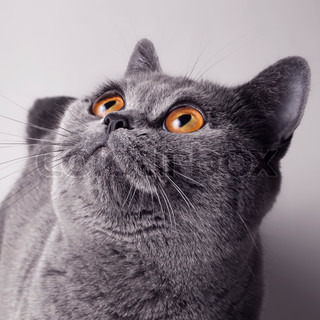 square portrait of a young gray British cat with yellow eyes
