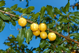 Appetizing ripe yellow plum fruit hanging on a branch against blue sky
