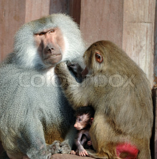 Hamadryas Baboon family is sitting in the sun.