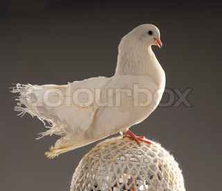 beautiful white dove on a shining ball