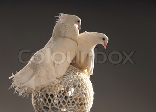 two white beautiful love doves on a shining ball