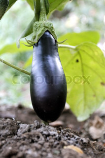 Black eggplant in the garden, plant, nutritious, ruddy, tasty, ripe
