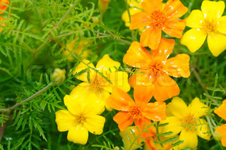 Marigold (Tagetes) Flowers on Flower Bed
