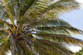 Nærbillede detalje af en tropisk kokosnød palme sort fundet på de caribiske øer i Puerto Rico .