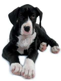 Young dog resting on a white background.