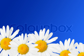 Daisies against sky blue background