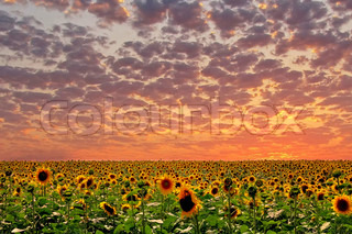 Sunset and sunflower.