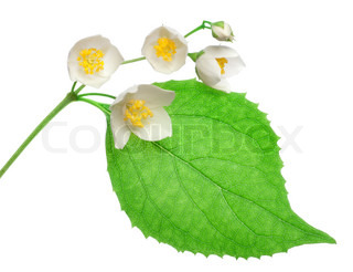 Jasmine flowers isolated on a white background